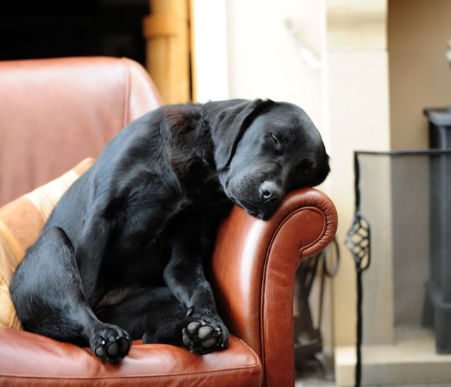 The Oh So Popular Black Lab