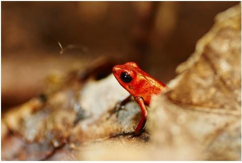 minature frog