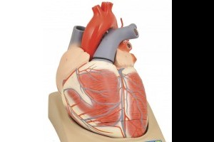 How many chambers are in a human heart?