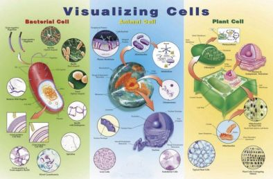 Poster: Visualising Cells (Laminated)