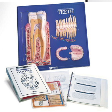 Tooth Model Activity Set - Edulab