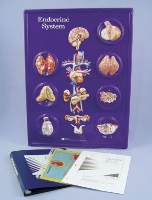 Endocrine System Model Activity Set