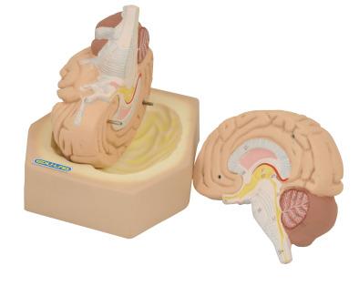 Model, Brain,  2 part Life size on base