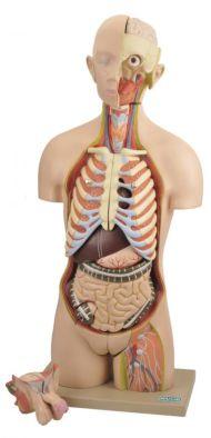 Model, Torso (Life-size) Interchangeable Sex Organs 14 parts