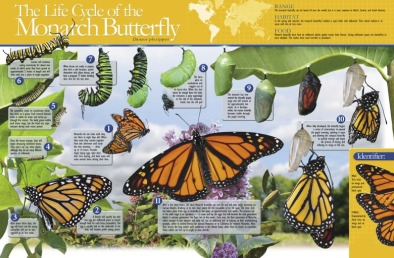 Poster: Monarch Butterfly Life Cycle (Laminated)