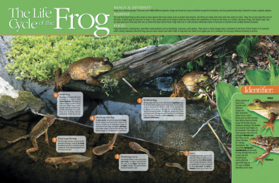 Poster: Lifecycle of a Frog (Laminated)