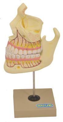 Model, Human Upper & Lower Jaw