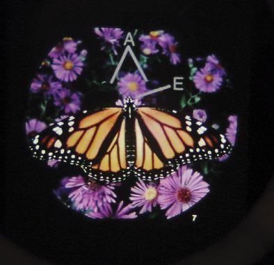 Microslide - Monarch Butterfly (Pk10)