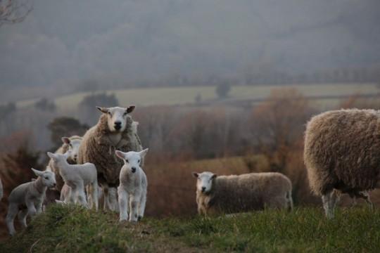 Lambing CA5