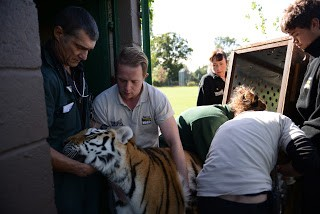 moving-tiger-4