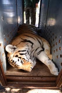 moving-tiger-6