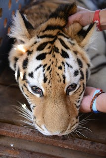 moving-tiger-7