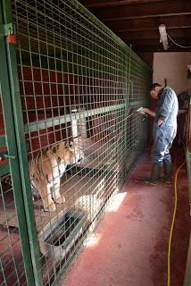 moving-tiger-14