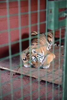 moving-tiger-15