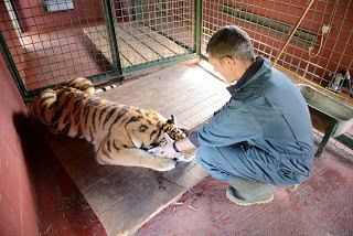 moving-tiger-16