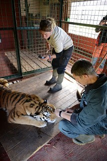 moving-tiger-17