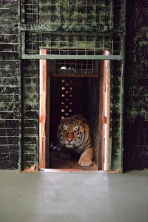 moving-tiger-28