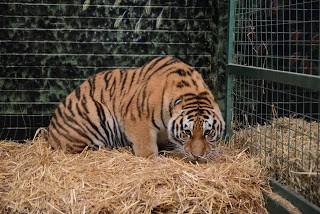 moving-tiger-29