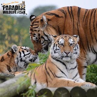 moving-tiger-30