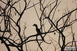 Hornbill #1