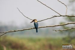 Largest Kingfisher In India #1