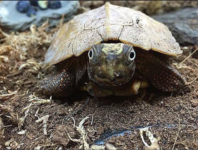 Black Leaf Turtle #2
