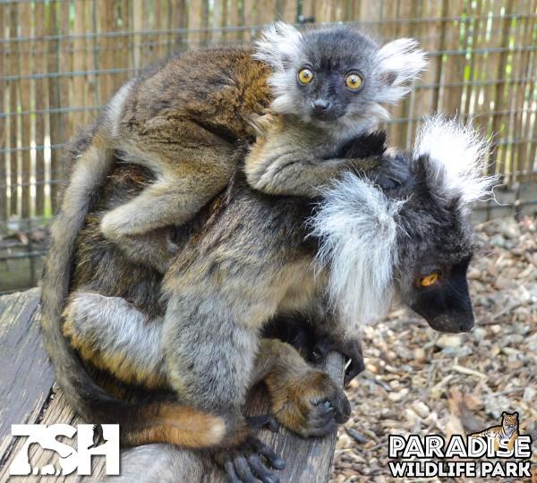 Black Lemur - Adala