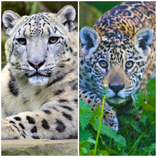Snow Leopard & Jaguar Weekend 2