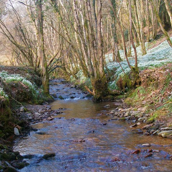 Snowdrop Valley (River Avill)